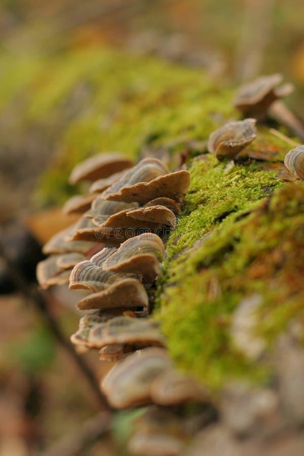 真菌多孔属架子sulphureus 免版税图库摄影