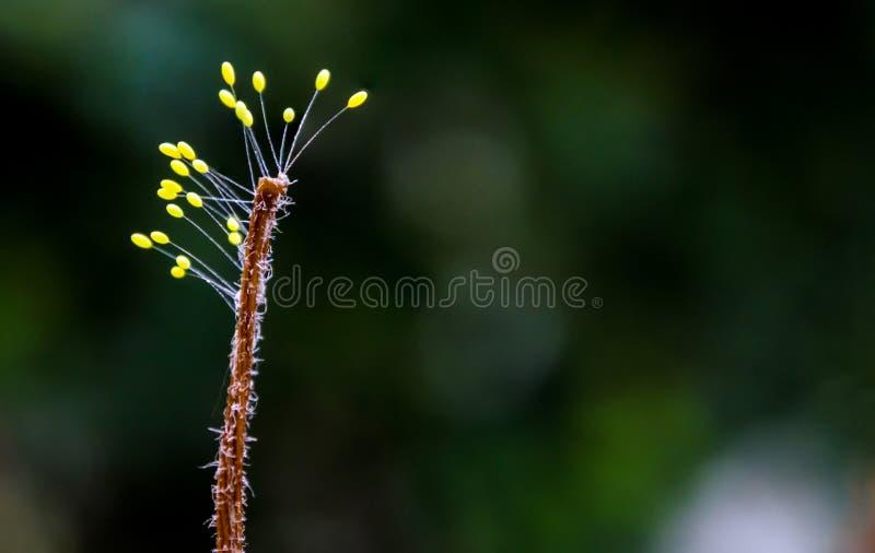 真菌孢子体在干杂草结束时 库存图片