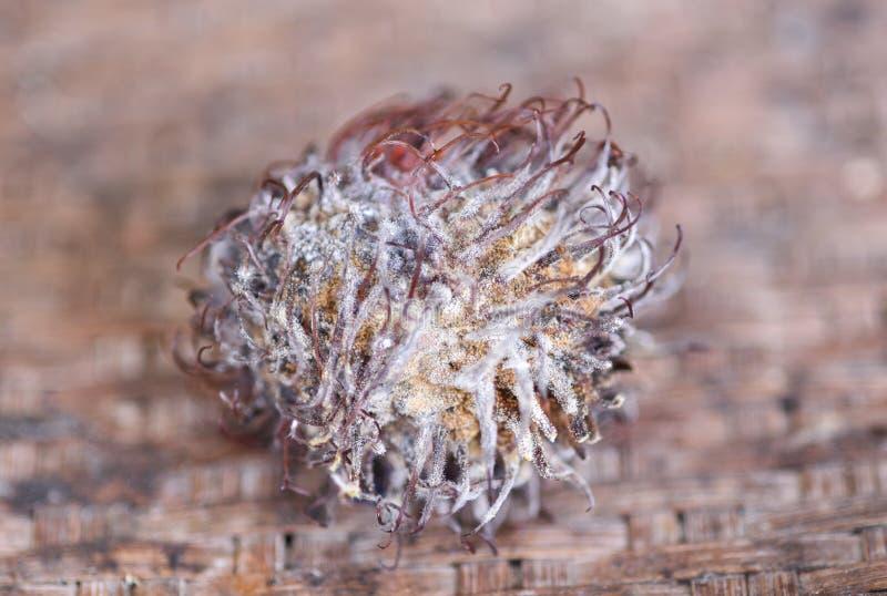 真菌果子-腐烂的果子 免版税库存照片