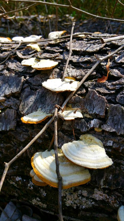 真菌梯子 库存图片