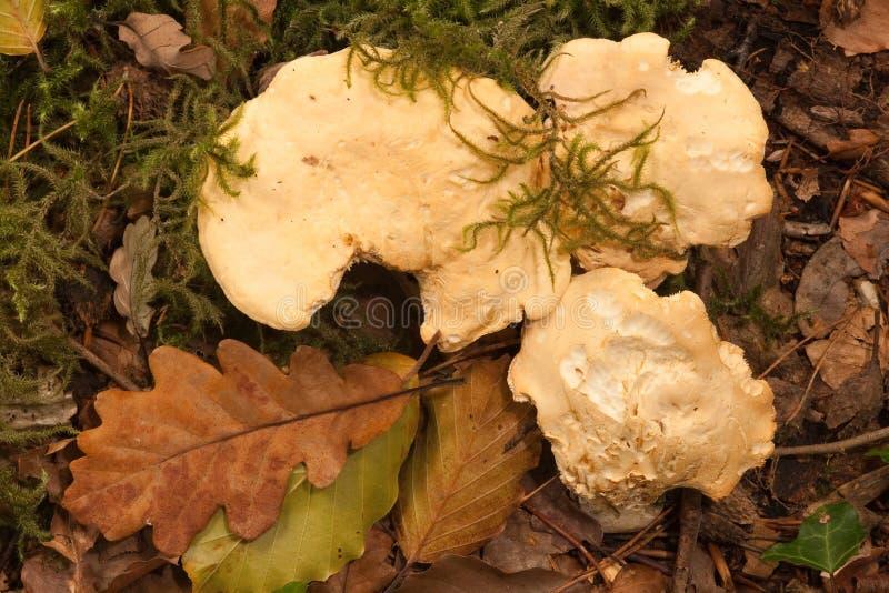 真菌猬 库存照片