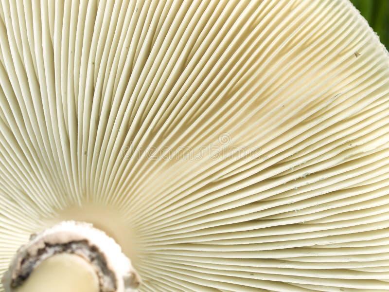 真菌鳃蘑菇纹理下面 库存照片