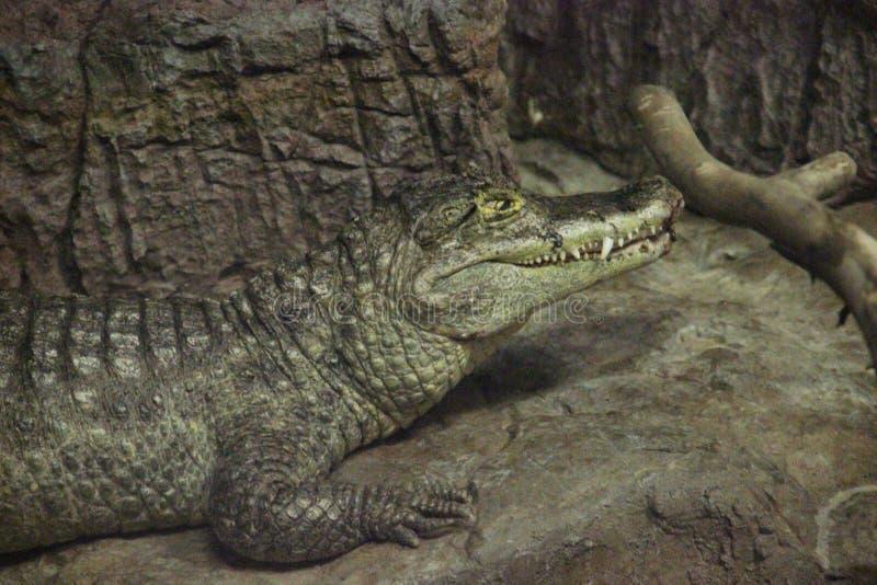 眼睛凯门鳄凯门鳄crocodilus 免版税图库摄影