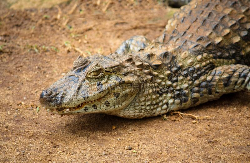 眼睛凯门鳄或共同的白色凯门鳄凯门鳄crocodilus特写镜头在一个含沙区域 图库摄影