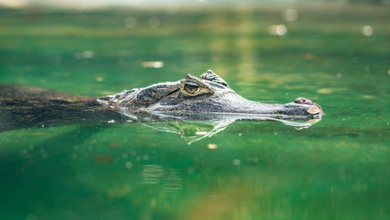 眼睛凯门鳄或凯门鳄crocodilus游泳在水中 库存图片