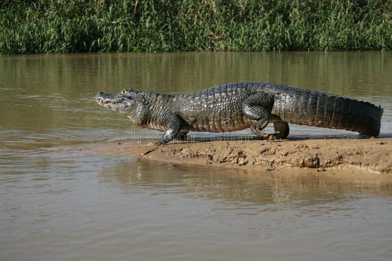 眼睛凯门鳄,凯门鳄crocodilus 库存图片