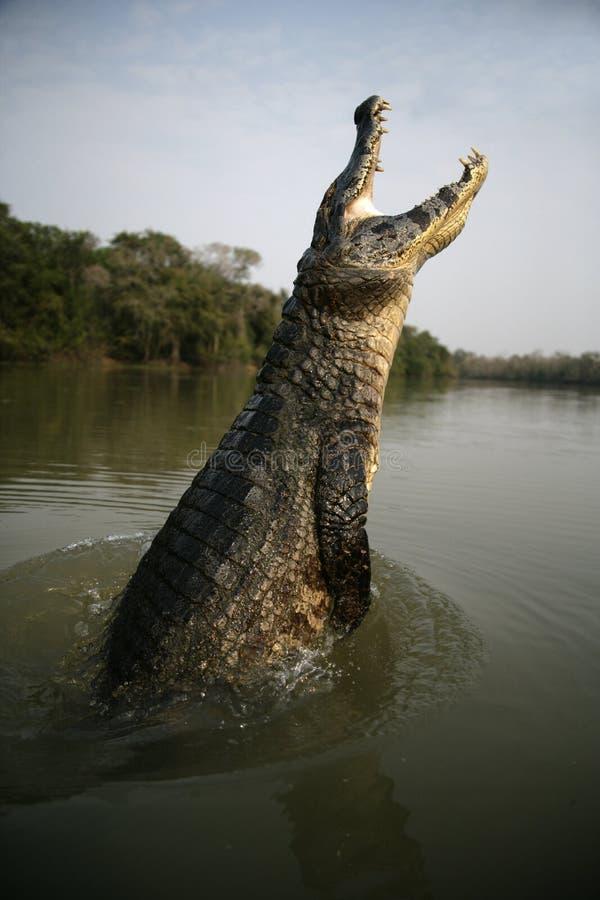 眼睛凯门鳄,凯门鳄crocodilus 免版税库存照片