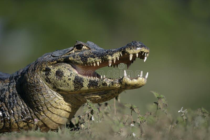 眼睛凯门鳄,凯门鳄crocodilus 免版税库存图片