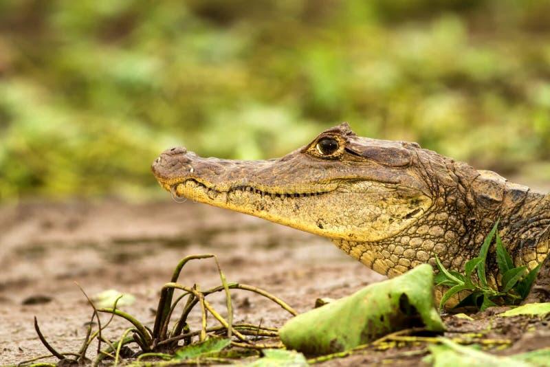 眼睛凯门鳄-说谎在河岸的凯门鳄crocodilus在卡诺黑人,哥斯达黎加,大爬行动物在awamp,特写镜头crocodille 图库摄影