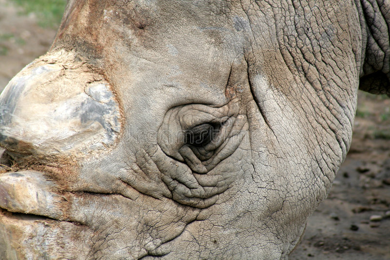 眼睛犀牛白色 免版税库存图片