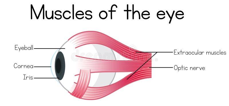 眼睛的人的肌肉 皇族释放例证