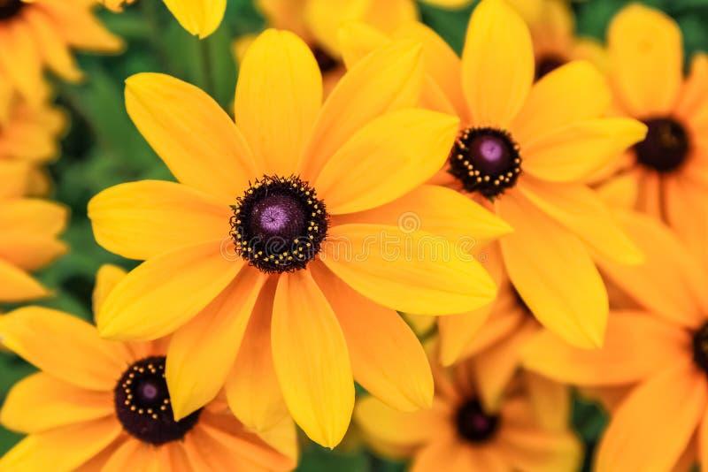 黑眼睛的苏珊,黄金菊花 免版税库存图片
