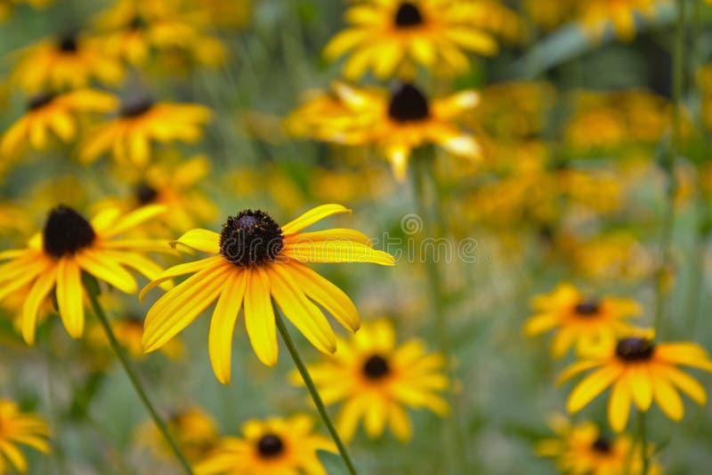 黑眼睛的苏萨& x28; 黄金菊hirta& x29;花 库存照片