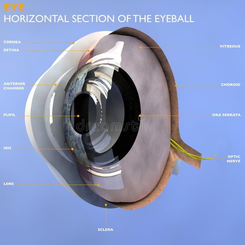 眼睛的部分 库存例证