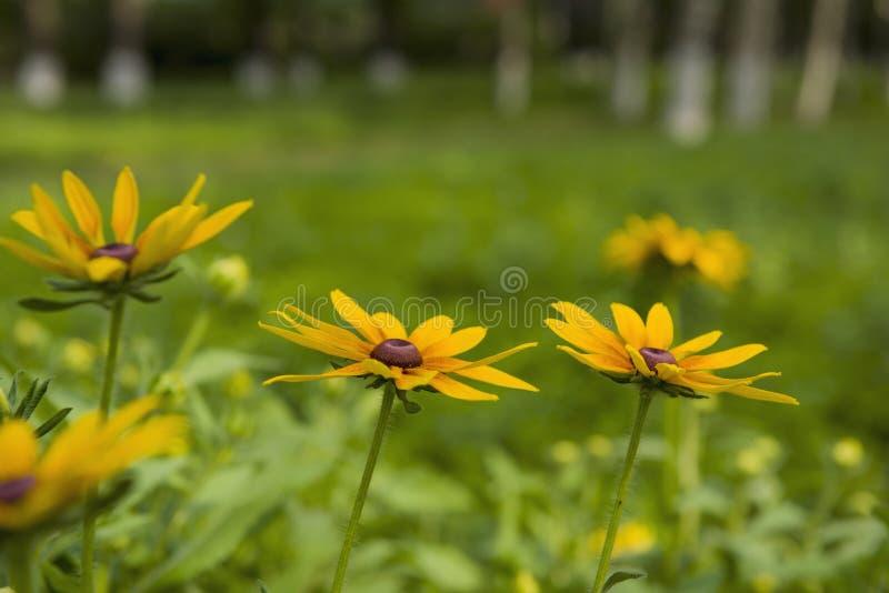 黑眼睛的hirta黄金菊susans 免版税库存照片