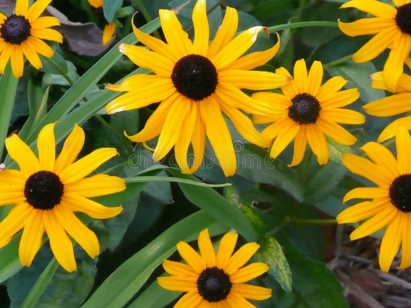 黑眼睛的Susans或黄色雏菊 免版税库存图片
