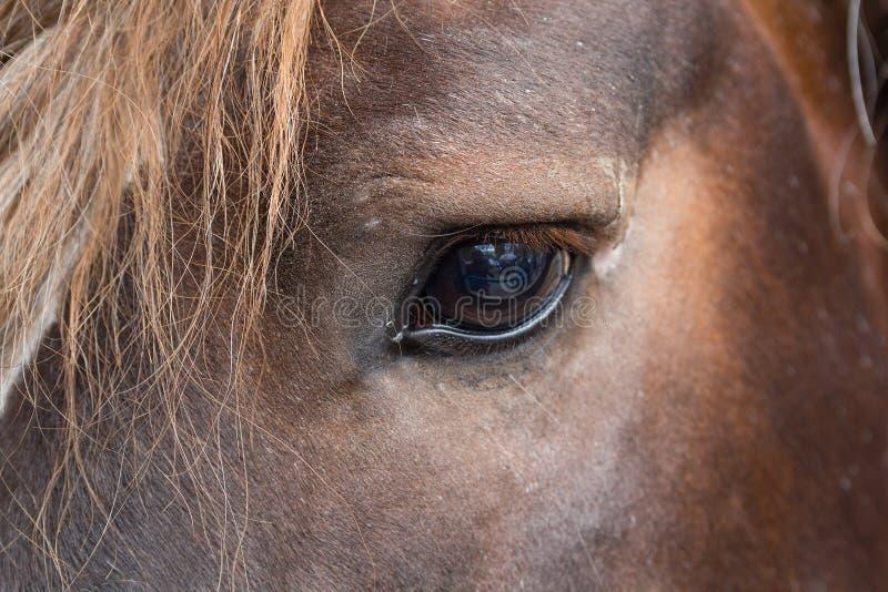 眼睛良种棕色马关闭 免版税库存图片