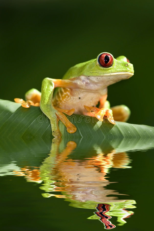 眼睛青蛙红色结构树 图库摄影