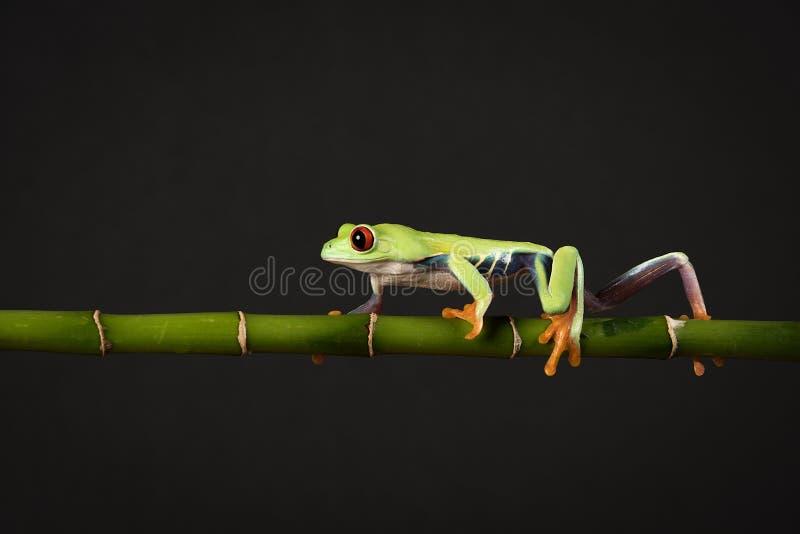 眼睛青蛙红色结构树 免版税库存照片