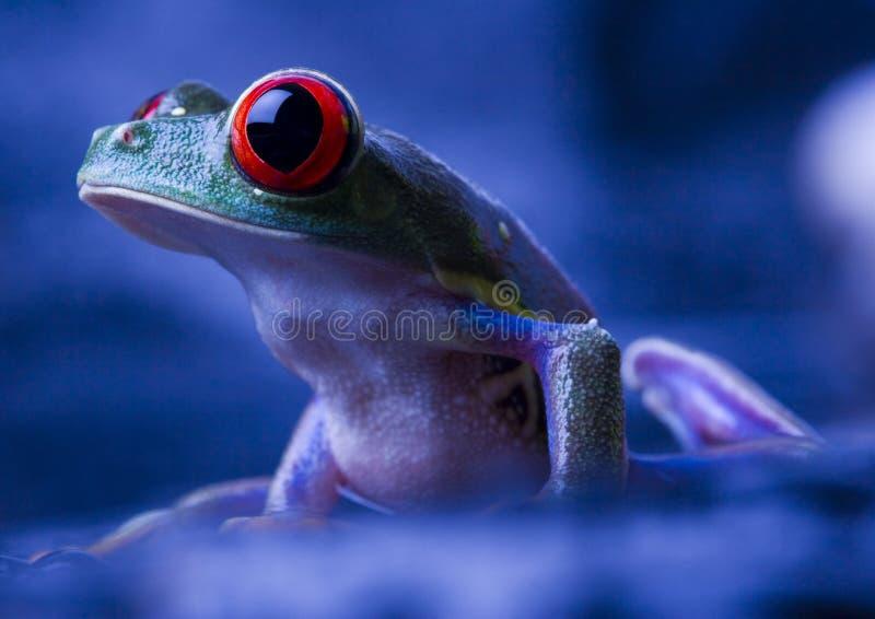 眼睛青蛙红色 免版税库存图片
