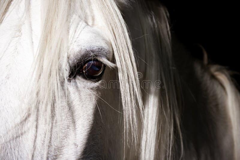 眼睛马白色 图库摄影