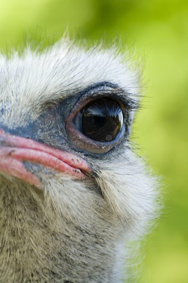 眼睛驼鸟 免版税库存照片