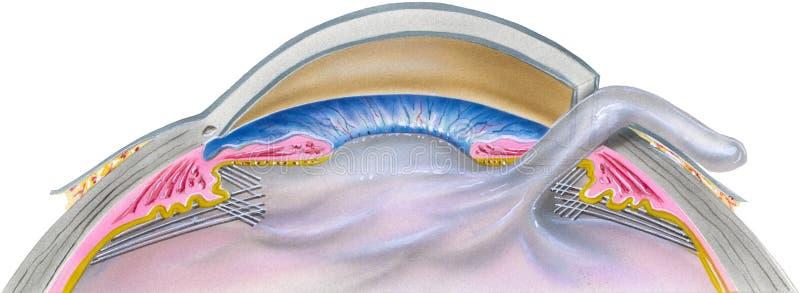 眼睛-大瀑布手术第2步 向量例证