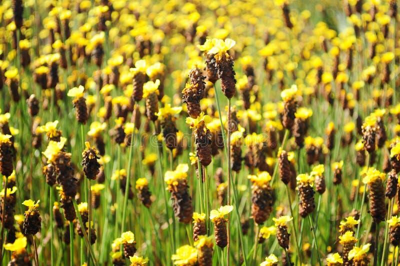 黄眼草属黄色花或黄眼草野花 免版税库存图片