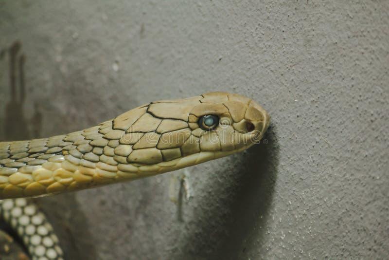 眼镜王蛇头是一条危险毒蛇 免版税库存图片