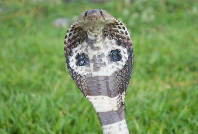 眼镜王蛇蛇 库存照片