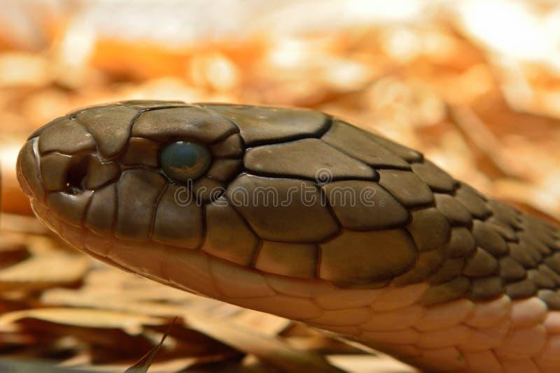 眼镜王蛇蛇Ophiophagus汉娜 免版税图库摄影