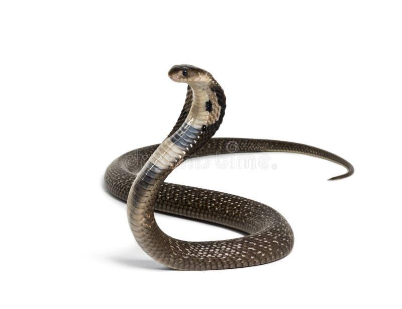 眼镜王蛇,Ophiophagus汉娜,反对白色的毒蛇 免版税库存照片