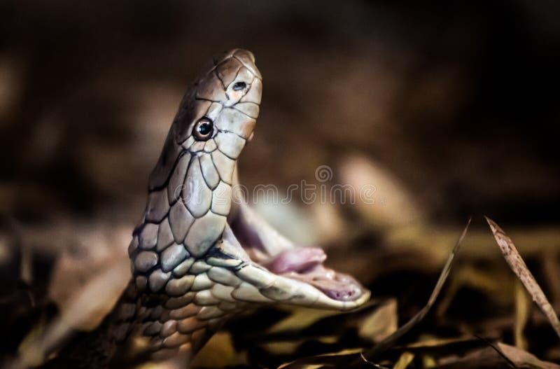 眼镜王蛇 免版税图库摄影