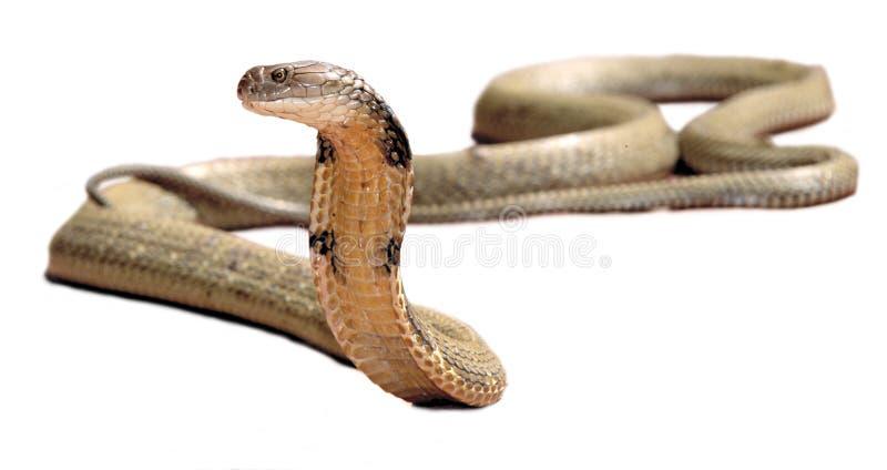 眼镜王蛇 免版税库存图片
