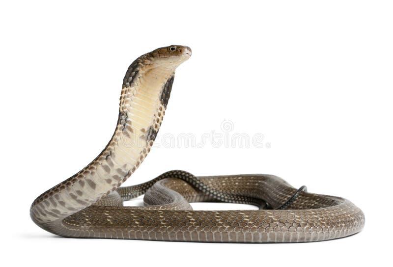 眼镜王蛇- Ophiophagus汉娜,毒,白色背景 图库摄影