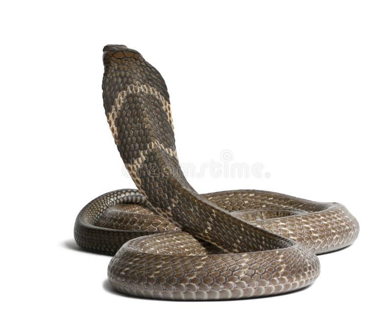 眼镜王蛇- Ophiophagus汉娜,毒,白色背景 免版税图库摄影