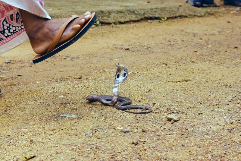 眼镜王蛇Ophiophagus汉娜 免版税库存照片