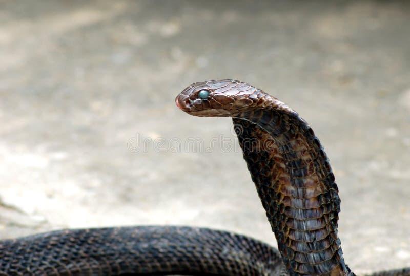 眼镜蛇国王 图库摄影