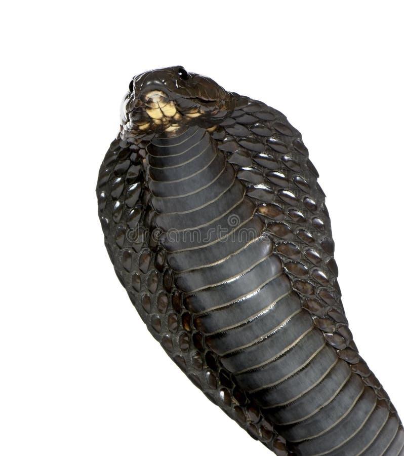 眼镜蛇埃及haje眼镜蛇 库存照片