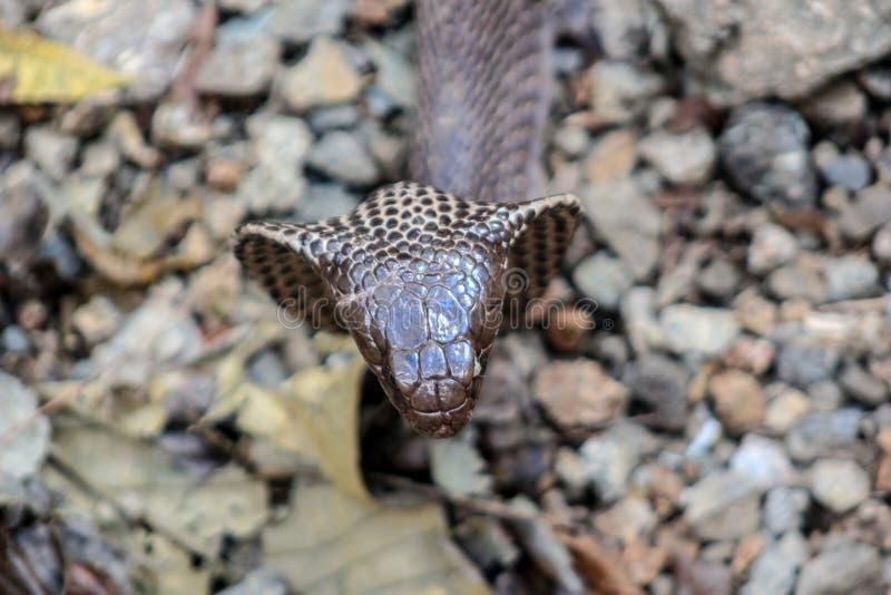 眼镜蛇蛇在印度 库存照片