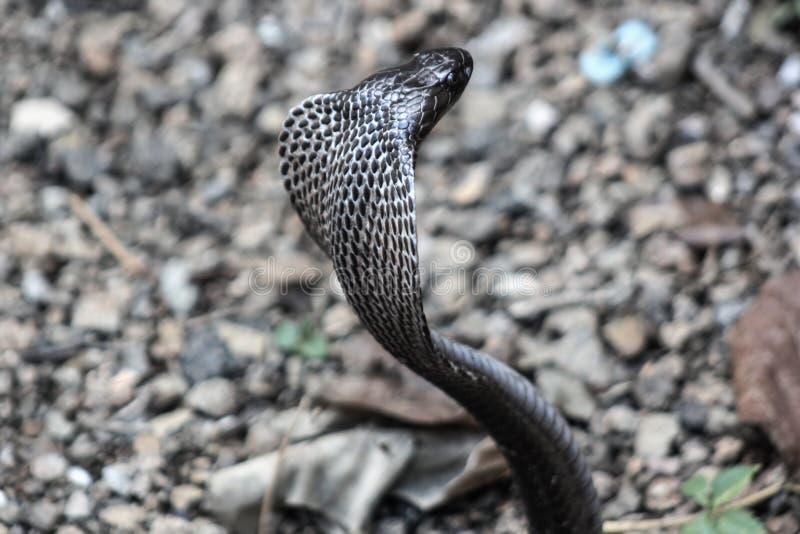 眼镜蛇蛇在印度 免版税库存照片