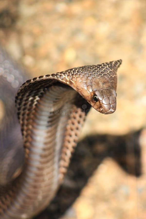 眼镜蛇蛇在印度 免版税图库摄影