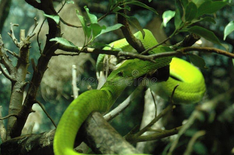绿眼镜蛇,蛇 库存照片