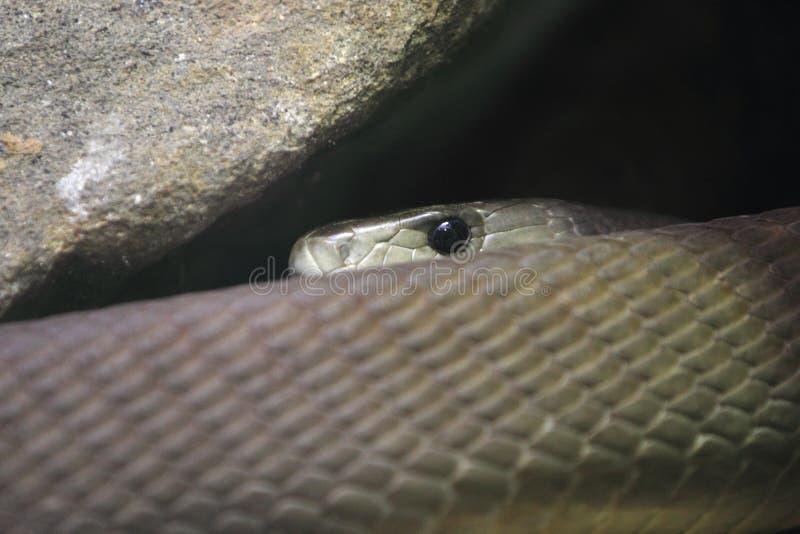 黑眼镜蛇 库存图片
