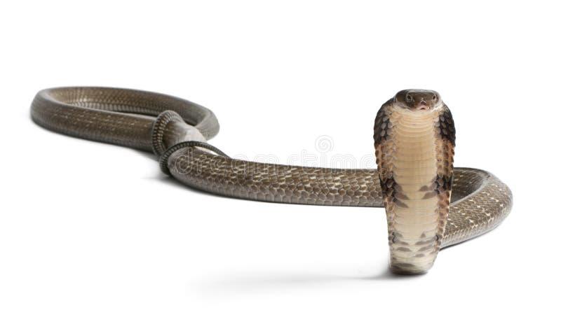 眼镜蛇hannah国王ophiophagus 免版税库存照片
