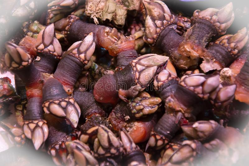眼镜,照片甲壳动物cirripede家庭Pollicipedidae,采取在宏指令在市场上待售在西班牙 图库摄影
