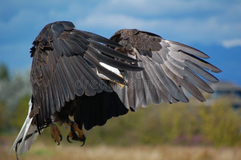 着陆老鹰 免版税库存图片