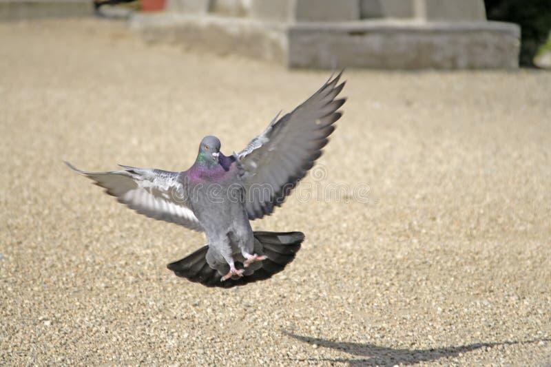 着陆鸽子 免版税库存图片