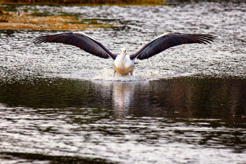 着陆鹈鹕 免版税库存照片