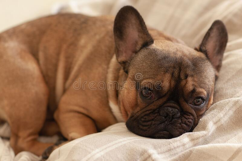 睡在床上的毯子下,从昏昏欲睡的法式斗牛犬中传出 图库摄影